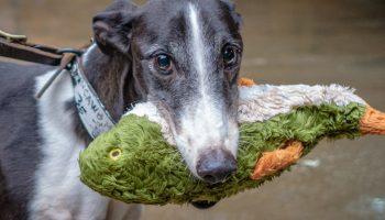 greyhound with toy