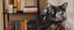cat with bookshelf in backhround