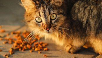 cat with snacks