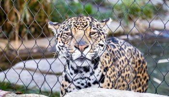 leopard in zoo