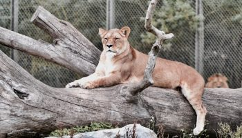 lioness in cage