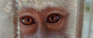 macaque behind bars