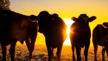 cows in front of sunset
