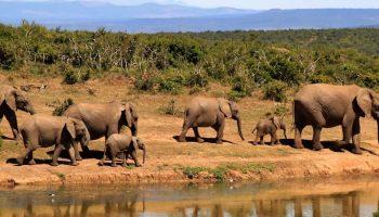 elephants near water