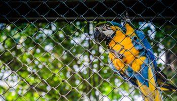 parrot in captivity