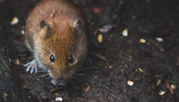 wild brown mouse
