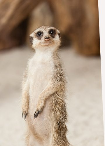 meerkat-emails.jpg